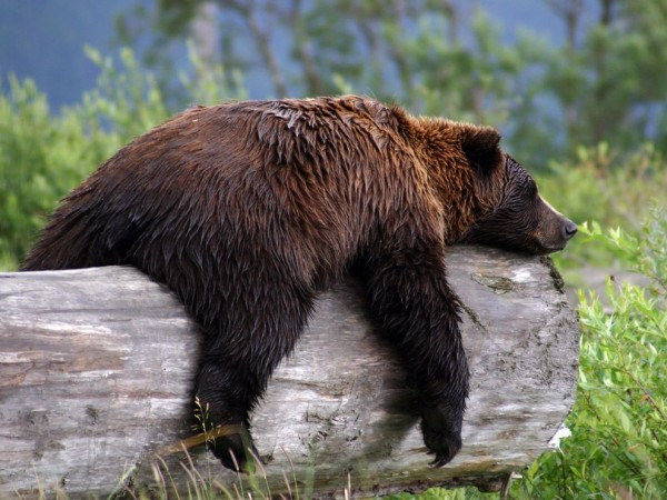 sleepy-grizzly-bear_22670_990x742