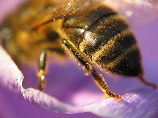 640px-Bee_crocus_macro_3